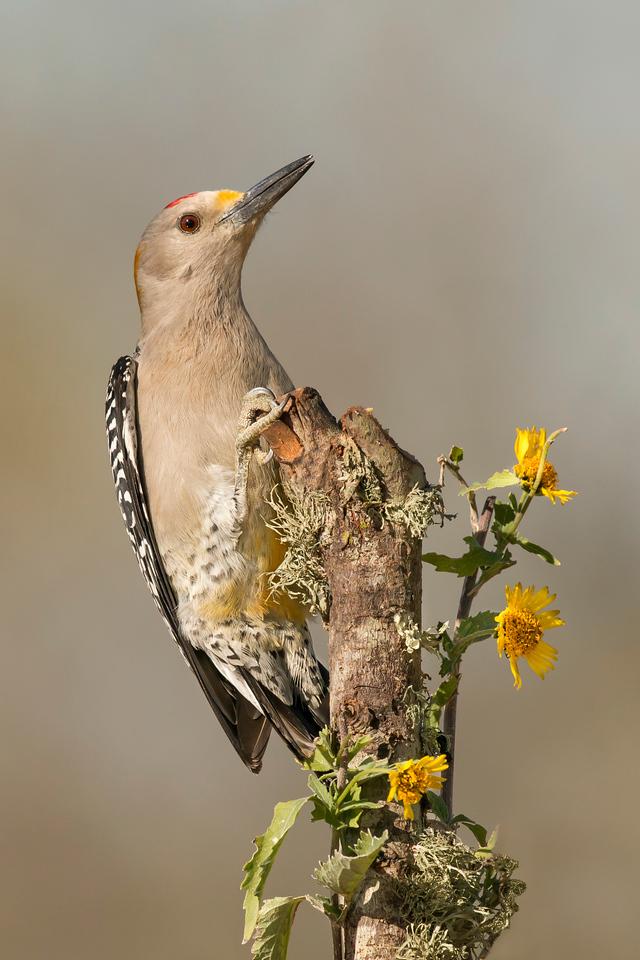 Golden-fronted Woodpecker Laguna Seca Ranch Edinburg, TX