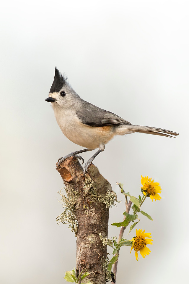 Black-crested Titmouse Laguna Seca Ranch Edinburg, TX