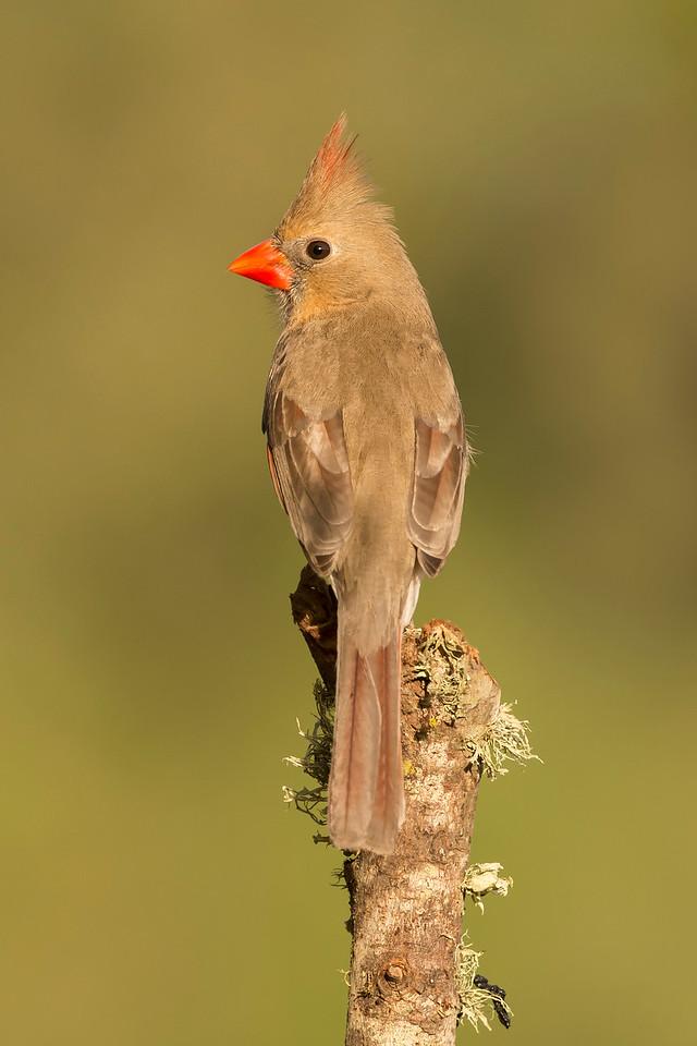 Northern Cardinal Female Laguna Seca Ranch Edinburg, TX