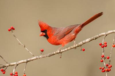 Northern Cardinal Laguna Seca Ranch Edinburg, TX