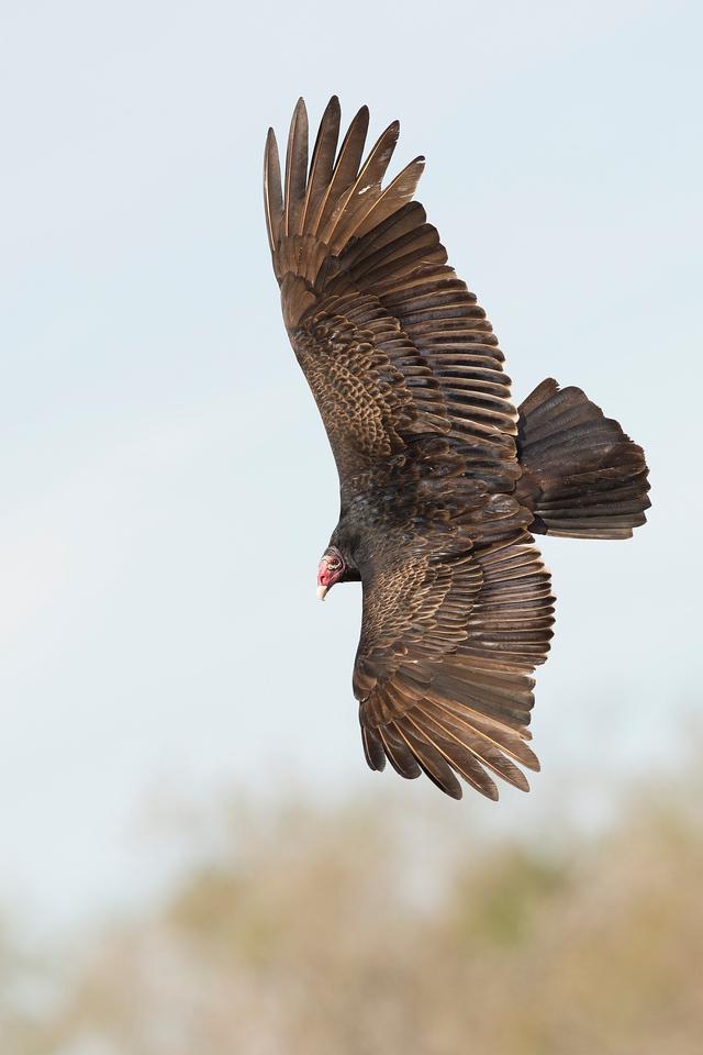 Turkey Vulture Laguna Seca Ranch Edinburg, TX