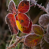 Berry leaves rimmed with frost