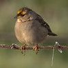 Gold crowned sparrow and wire