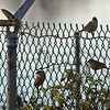 birds perched on fence