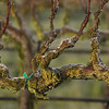 Winter grape vine