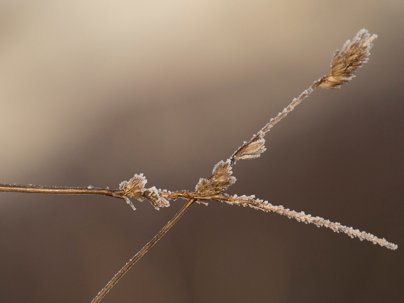 frozen grasses