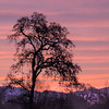 Oak tree and pink sky