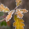 oak leaves rimmed with frost