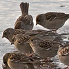 puddle group (sparrows)