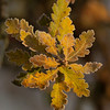 Yellow leaves of Oak tree