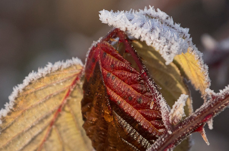 Ice crystals and leaves