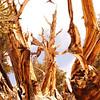 Bristle cone pine all over the forest