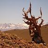 Iconic view of bristle cone pine