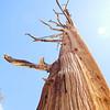 Bristle cone pine straight up