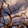 Bristle cone pine branches dancing in the wind