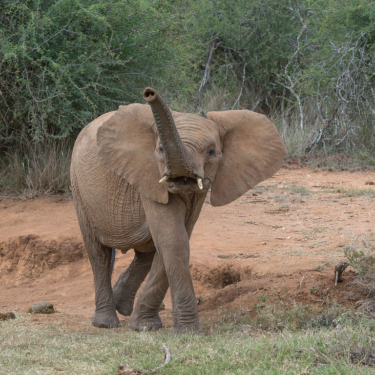 Elephant showing displeasure