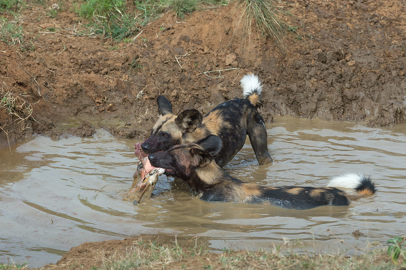 Wild dogs after hunt