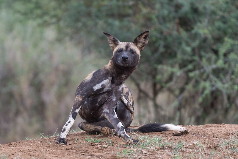 Wild dog scratching