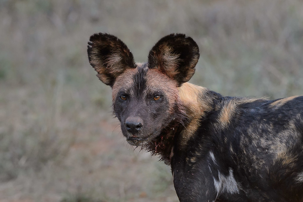 Wild dog after hunt