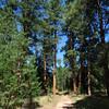 Entering Ponderosa Forest