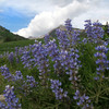 Can you say Lupine?  A typical summer day in the Elk Mountains.