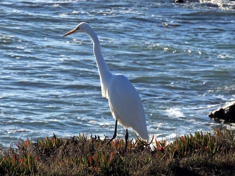 Great White Egret, Fiscalini Ranch Preserve, Cambria, California