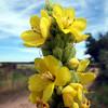 Flower head of Mullein