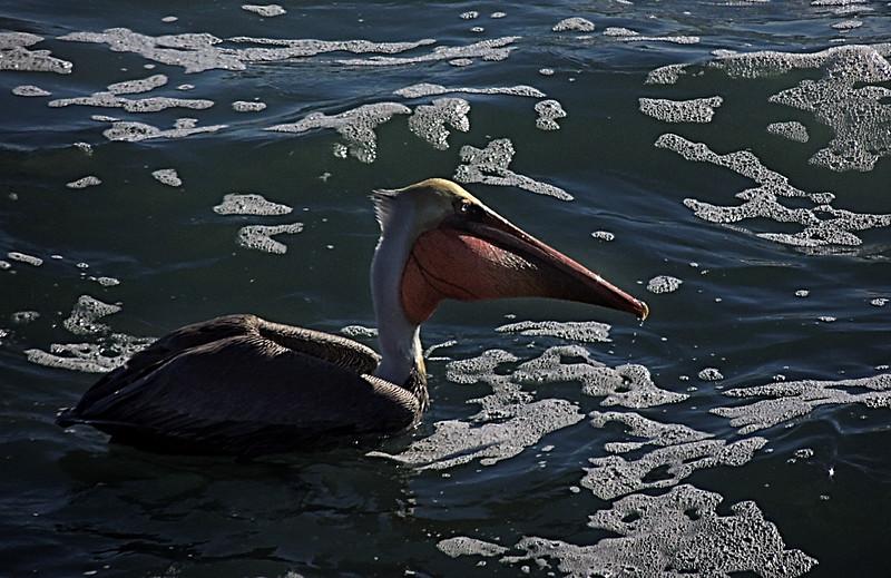 Pelican, Cambria, California
