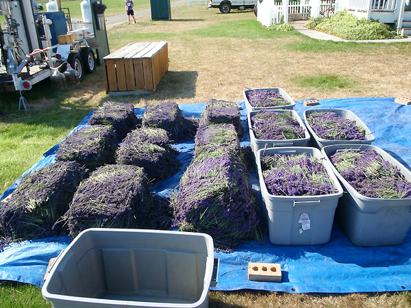 Bundled lavender at the Washington Lavender Farm.