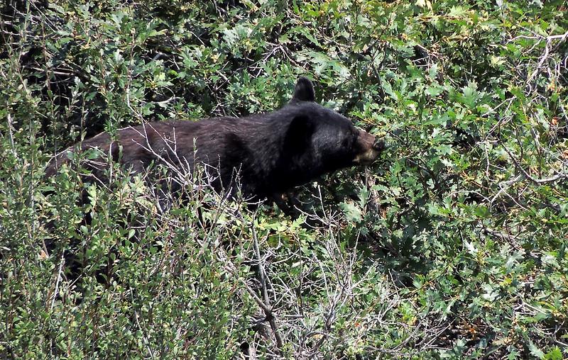 Sow black bear, Waterton Canyon, Colorado