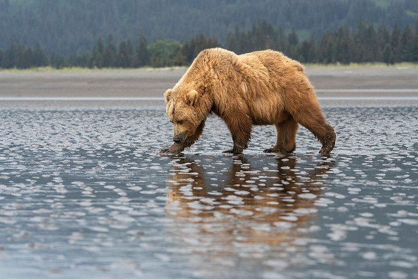 Grizzly Bear (Ursus arctos horribilis) sow using her sense of smell to hunt razor clams for her and her cubs on the tidal flats at Lake Clark National Park, Alaska