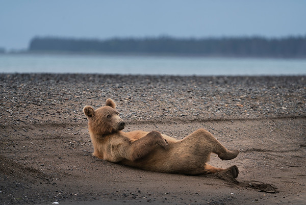 Grizzly Bear (Ursus arctos horribilis) subadult relaxing on the beach of Cook Inlet in Lake Clark NP, Alaska