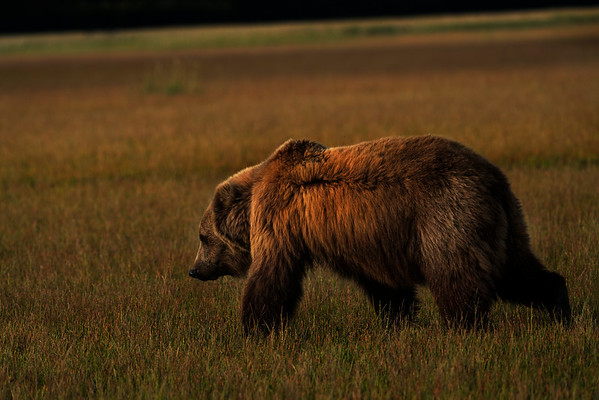 Grizzly Bear (Ursus arctos horribilis) sow crosses a meadow at sunset in Lake Clark National Park, Alaska
