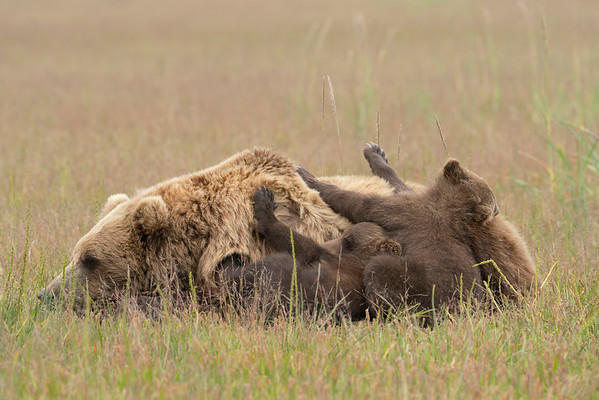 Grizzly Bear and cubs napping