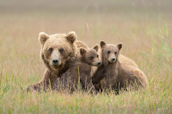 Grizzly Bear and cubs