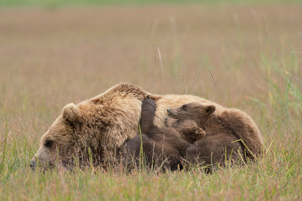 Grizzly Bear and cubs, napping