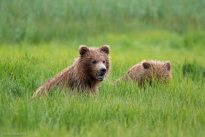 Young cubs (1-1/2 yr old)