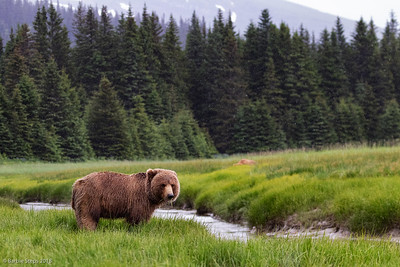 Coastal brown bear eating grass