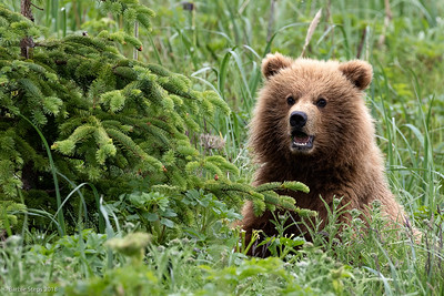 Young coastal brown bear