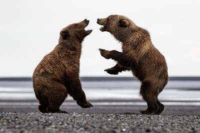 "Younger coastal Brown Bears ""play-fighting"" on tidal flats"