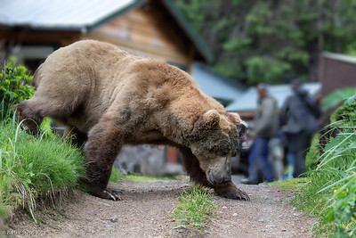 "Very large male brown bear (""Fluffy Ears"")  passing by lodge"