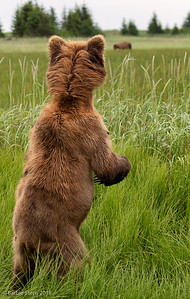 Young male watching passing bear