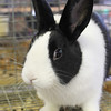 Kailee Leonard - The News-Herald <br> This rabbit looks for attention in the rabbit and poultry barn Tuesday July 25 at the Lake County Fair.