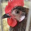Kailee Leonard - The News-Herald <br> This noble rooster keeps an eye on the crowd that passes through the rabbit and poultry barn, Tuesday July 25, at the Lake County Fair.