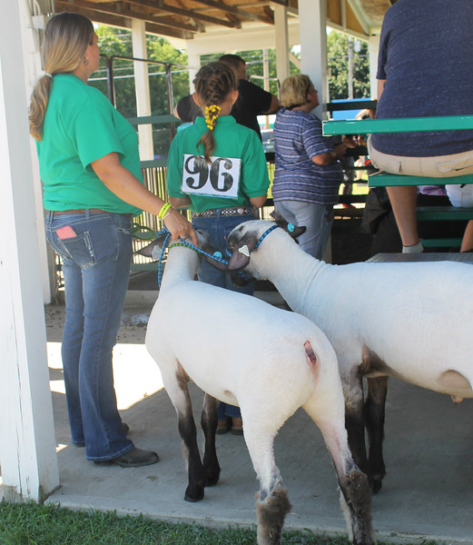Kailee Leonard - The News-Herald <br> Keeping an eye on the competition, a young 4-H member waits her turn with her sheep outside the show ring, July 25.