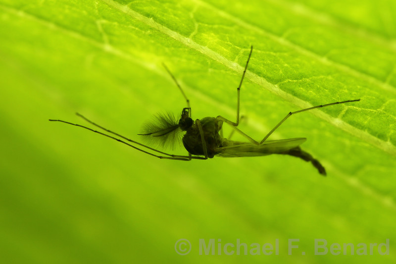 Backlit midge hanging under leaf