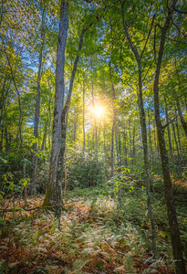Sunburst Forest