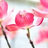May 5 - Pink Dogwood Blooms
