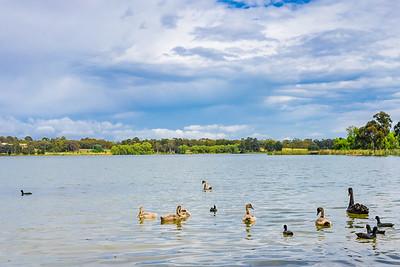 Water birds on Lake Ginninderra