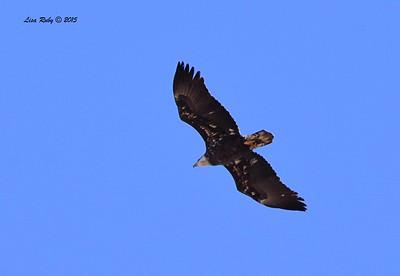 Bald Eagle - 11/6/2015 - Lake Hodges